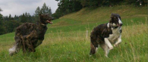 Windhunde rennen