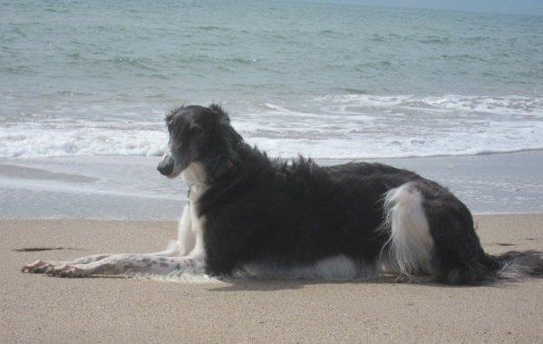 Barsoi nimmt Sonnenbad am Mittelmeer-Strand
